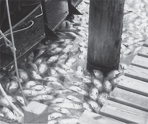 Menhaden kill, along the Mianus River, 1988.